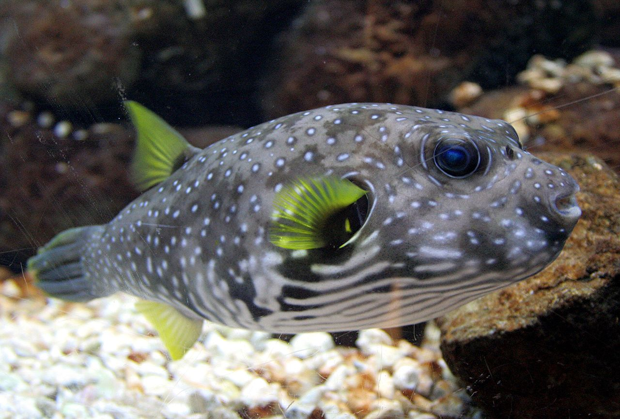 How Do Puffer Fish Get Their Food