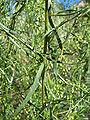 Artemisia dracunculus 8.jpg