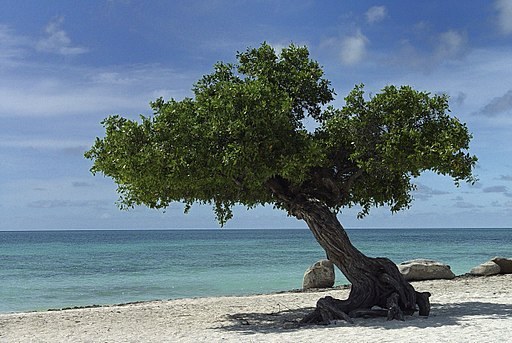 Aruba Divi Tree - Eagle Beach (2896882763)