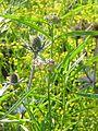 Asclepias fascicularis - Flickr - peganum (2).jpg