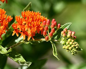 Asclepias tuberosa in Farmington, CT 4.jpg