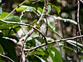 Asian Brown Flycatcher (15023697071).jpg