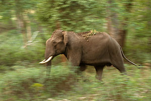 Biligiriranga Hills - Bull elephant walking in BR Hills forest