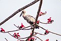 Asian openbill at Chitwan National Park (2).jpg