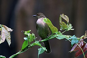 Asian red-eyed bulbul (Pycnonotus brunneus).jpg