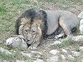 Asiatic Lion 09.jpg