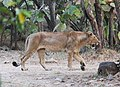 Asiatic lion 06.jpg