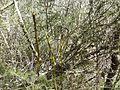 Asparagi selvaggi (16856546702).jpg