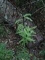 Asparagus scandens creeper SouthAfrica 6.jpg