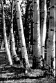 Aspen - ES Shipp - Kaibab National Forest.jpg