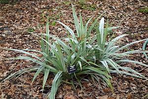 Astelia chathamica - Image: Astelia chathamica Mc Connell Arboretum & Botanical Gardens DSC02983