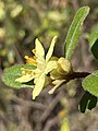 "Asterolasia flower ""Lemon Essence"".jpg"