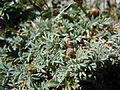 Astragalus kentrophyta (6120431889).jpg