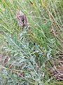 Astragalus vesicarius subsp. vesicarius sl1.jpg