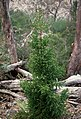 Athrotaxis selaginoides, Mt Field National Park Tasmania - CSIRO ScienceImage 529.jpg