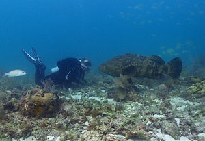 Atlantic goliath grouper - Atlantic goliath grouper