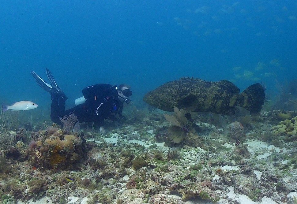AtlanticGoliathGrouper