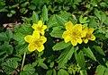 Atlas roslin pl Zawilec żółty 8131 6335.jpg