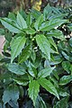 Aucuba japonica Spotted Laurel იაპონური აუკუბა.JPG