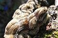 Auricularia mesenterica - upper surface.JPG
