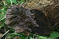 Auricularia mesenterica 150509wa.JPG