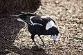 Australian Magpie (Gymnorhina tibicen) 4.jpg