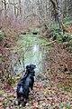 Australian Shepherd Contemplates a Beaver Pond.jpg