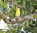 Australian fig bird (10636285276).jpg