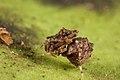 Austrarchaea sp..jpg