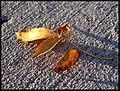 Autumn Leaf (2923272378).jpg
