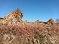 Autumn Red-Mountains Series - 2nd Cornstacks (Hospitable Situation; In honor of Sir Claude Monet).jpg
