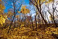 Autumn Yellow Leaves - Woodland Trail, Maplewood State Park (23916371058).jpg