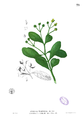 Avicennia officinalis Blanco1.73.png