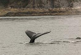 Avistamiento de ballenas jorabadas (Megaptera novaeangliae), Juneau, Alaska, Estados Unidos, 2017-08-17, DD 17.jpg