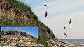 Backsvala - Riparia riparia.jpg