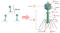 Bacteriophage structure.es.png