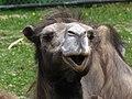 Bactrian Camel 2 (9110085813).jpg