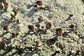 Baeomyces rufus 68234897.jpg