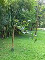 Bakhmee-Nauclea orientalis-Sri Lanka (2).jpg