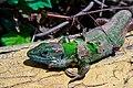 Balcan Green Lizard 2.JPG
