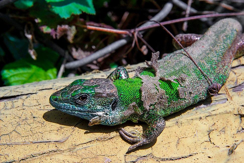 Balcan Green Lizard 2
