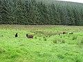 Balwen sheep - geograph.org.uk - 932547.jpg