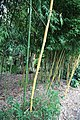 Bamboo grove in Nuthurst village, West Sussex, England 02.jpg