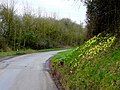 Bank of daffodils - geograph.org.uk - 1200971.jpg