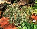Banksia ericifolia Liberec 1.jpg