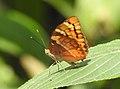 Baronet Euthalia nais UN by Dr. Raju Kasambe DSCN9440 (4).jpg