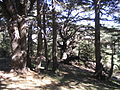 Barouk the Old Forest 2.JPG