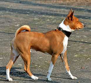 A red Basenji with white markings