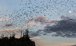 Bat cave in El Maviri Sinaloa - Mexico.jpg