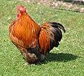 Beautifull big cockerel (5752263978).jpg